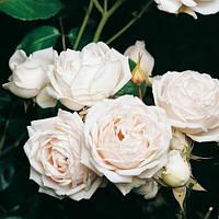 Роза кустовая Мартина Гийо (Rosa Martine Guillot)