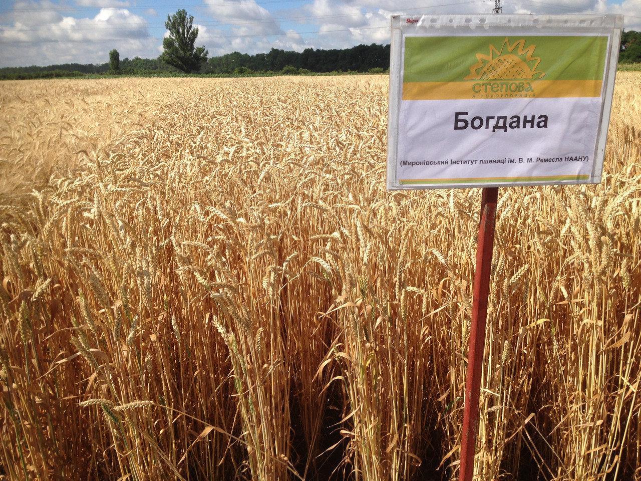 Насіння озимої пшениці Богдана (еліта)