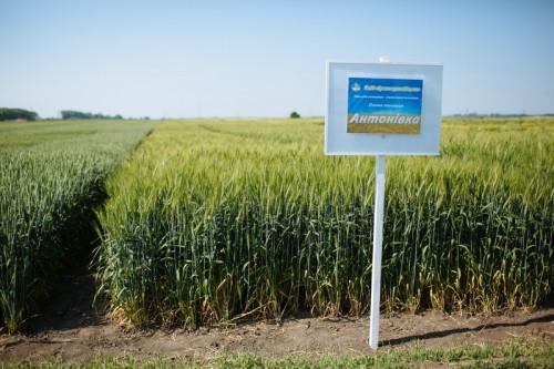 Насіння озимої пшениці Антонівка (1 репродукція)