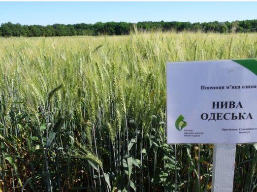 Насіння пшениці озимої Нива Одеська (еліта)