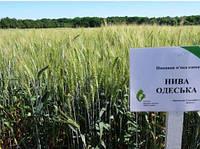 Насіння пшениці озимої Нива Одеська (еліта), фото 1