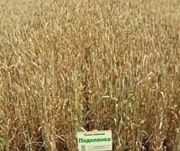 Насіння пшениці озимої Подолянка (еліта) Orginal 2019
