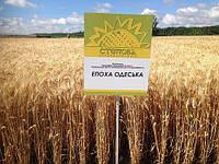Насіння пшениці озимої Епоха Одеська (еліта) Original 2019, фото 1