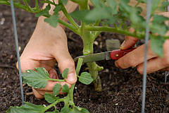 Для чего и как проводится обработка нижних листьев томатов