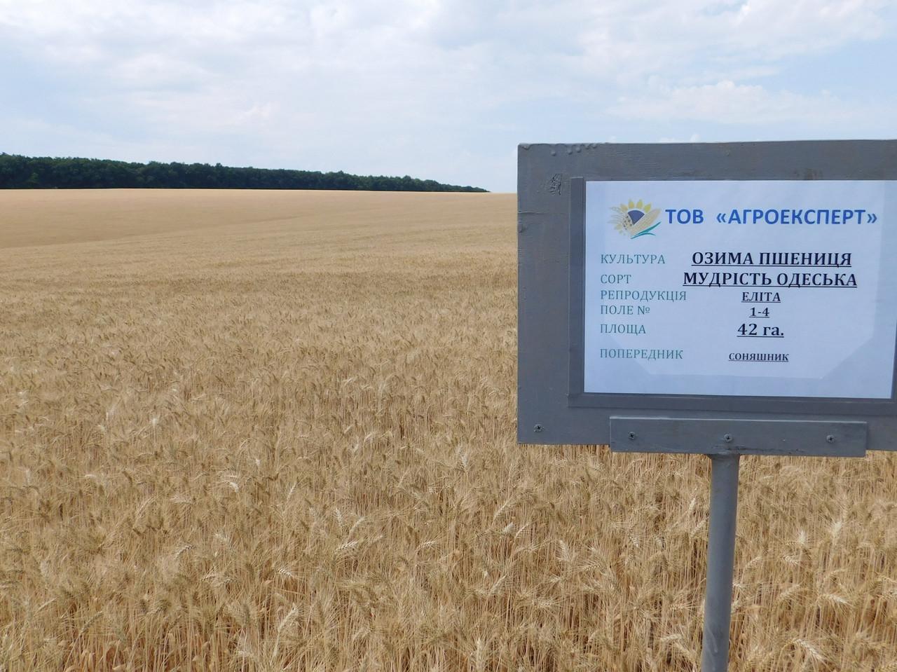 Насіння м'якої озимої пшениці Мудрість Одеська (еліта)