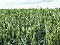 Насіння озимої пшениці Мулан, Saaten Union,1 тонна