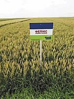 Насіння озимої пшениці Фелікс (1 репродукція)