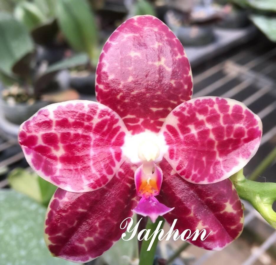 "Подростки орхидеи. Сорт Phal. Yaphon in Taiwan, горшок 1.7"", без цветов"