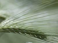 Насіння озимого ячменю Наомі, Saaten Union, 1 тонна