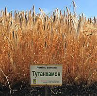 Семена  ячменя Тутанхамон (дворучка)