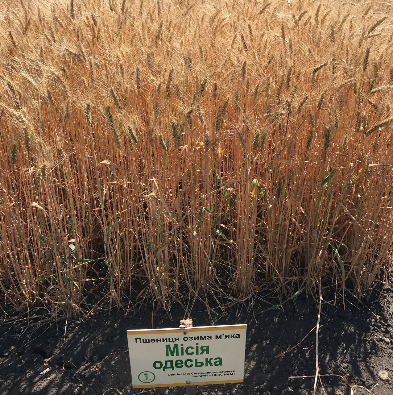 Семена пшеницы озимой Миссия Одесская