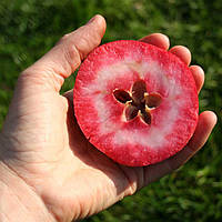 Саджанці яблунь Ера «Redlove »  (червона м'якоть, красная мякоть), фото 1