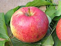 Саджанці яблунь Незалежність  (Независимость)