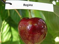 Саджанці черешні Регина
