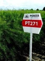 Насіння озимого ріпаку PT271 Pioneer | ПТ271 Піонер®