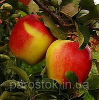 Яблоня Амброзия. (Б7-35). Зимний сорт, фото 1