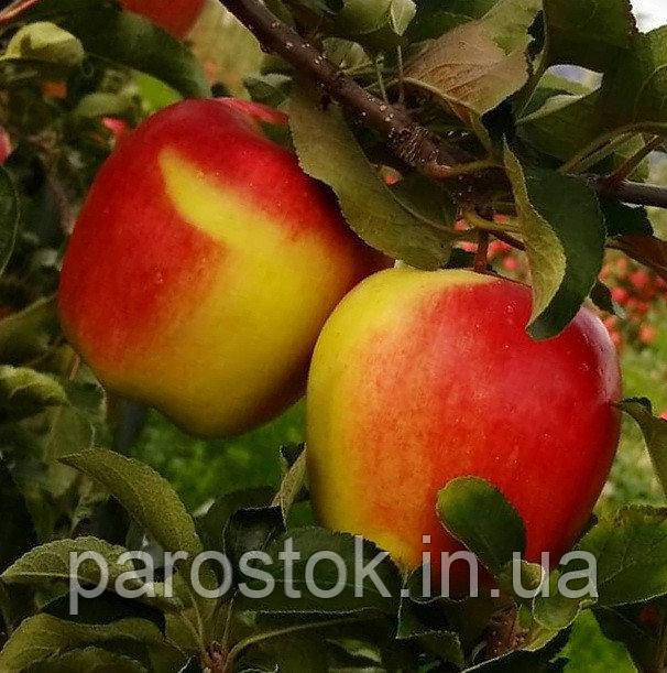 Яблоня Амброзия. (Б7-35). Зимний сорт