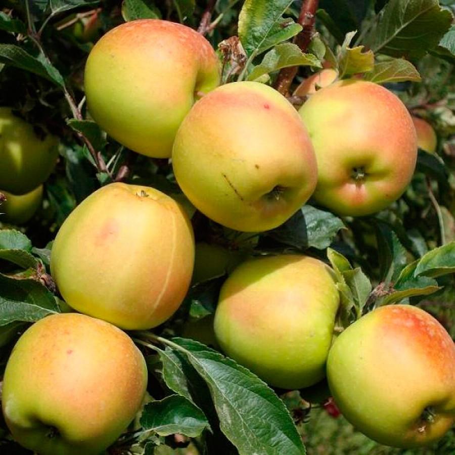 Саженцы яблони сорт Скифское золото
