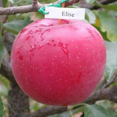 Саженцы яблони сорт Элиза