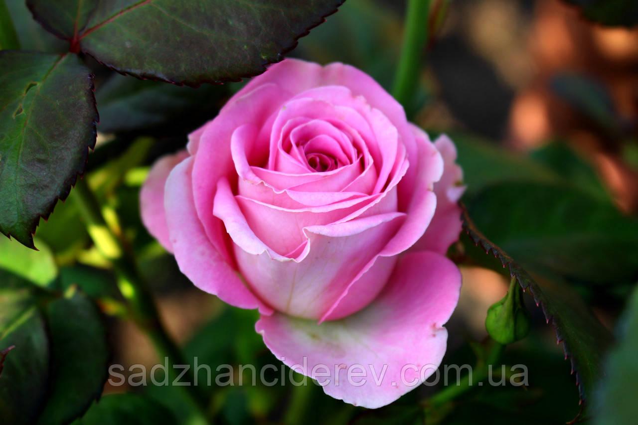 Саджанці троянд Аква (Aqua)