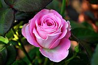Саджанці троянд Аква (Aqua), фото 1