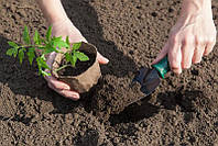 Как выращивать рассаду и что класть в лунку при посадке рассады томатов