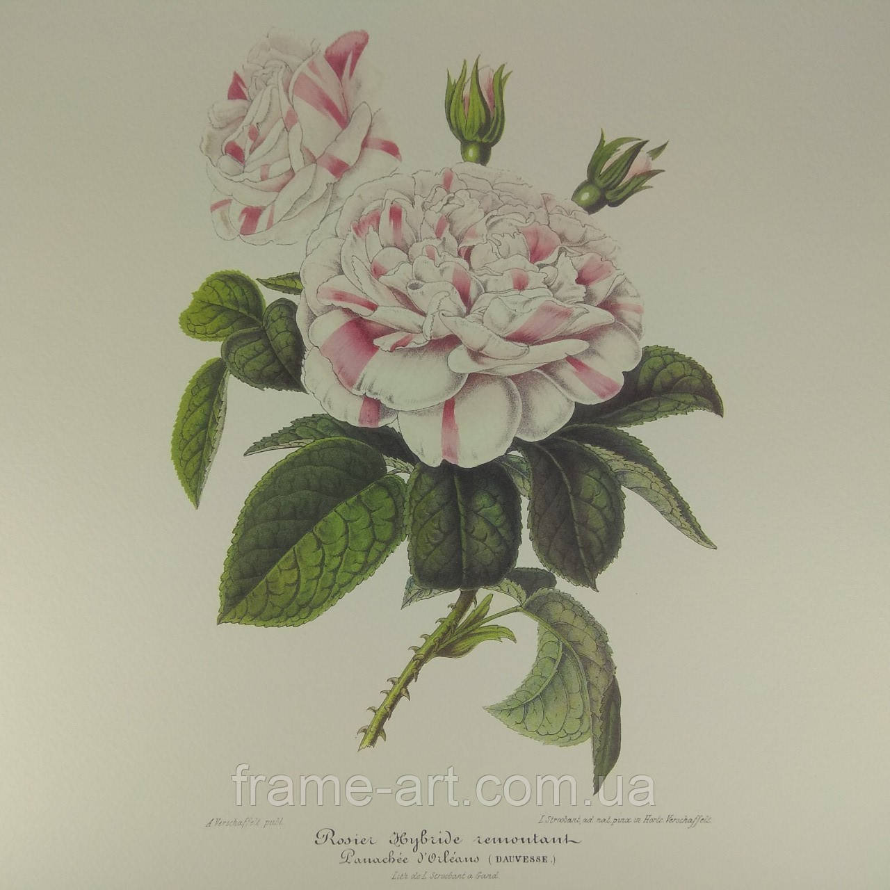"""Арт постер репродукция картины """"Куст розы гибридной"""" 25*35 см."""