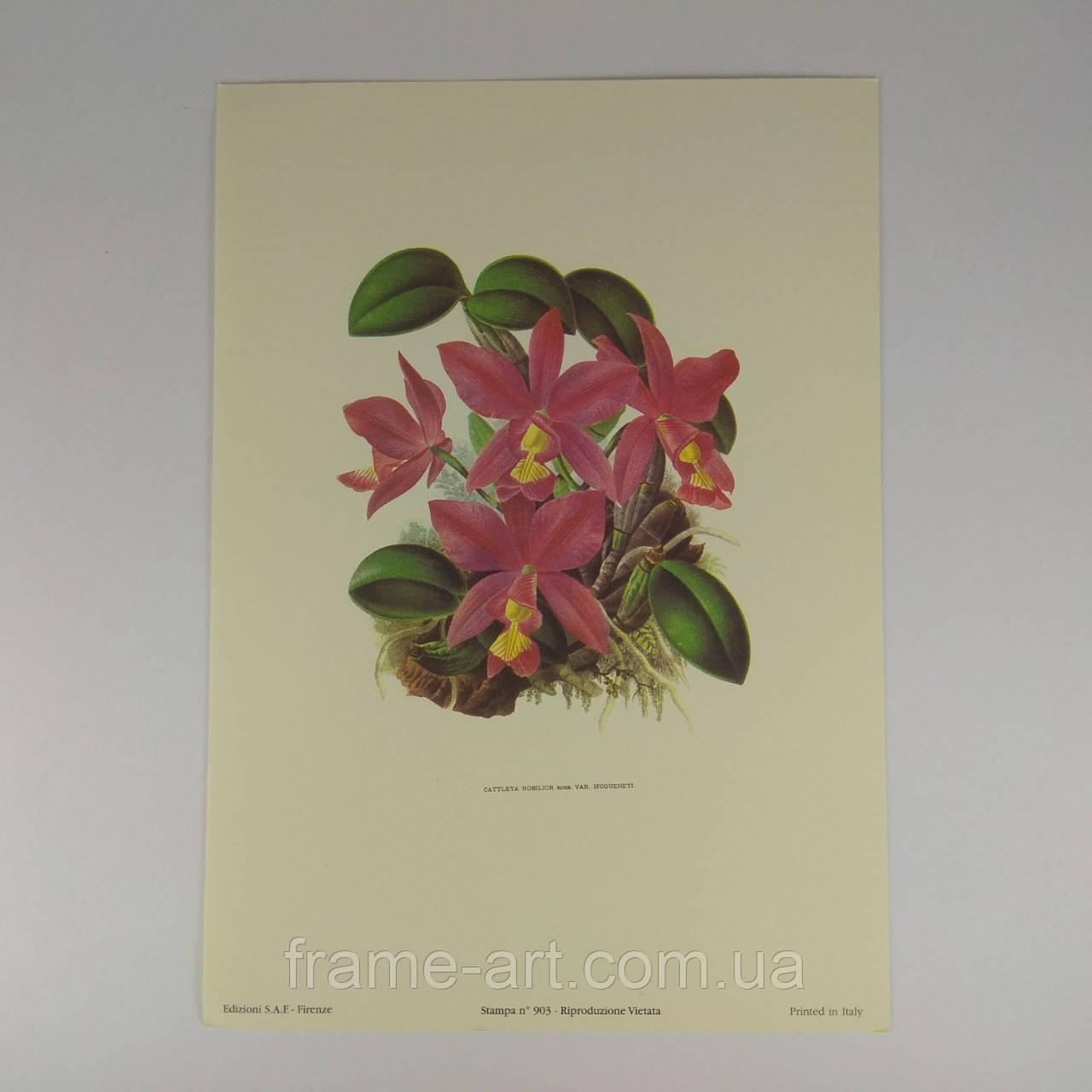 """Постер Арт репродукція картини """"Орхідея """"cattleya nobilior"""" """" 13*18см."""