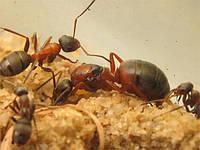 Муравьи Formica rufibarbis, краснощекий муравей
