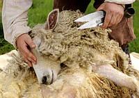 Как стричь овец?
