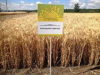 Насіння пшениці озимої Благодарка одеська (еліта)