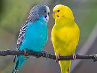 Попугаи: красавчики и болтуны