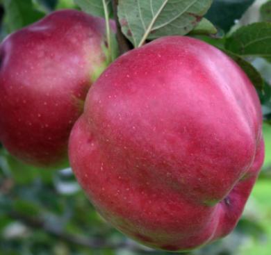 Саженцы яблони сорт Джумбо Помм