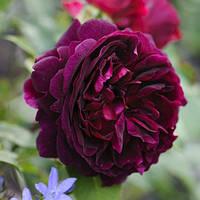 Саженец Роза английская Роза Мунстед Вуд (Munstead Wood)