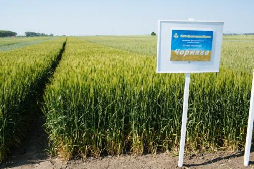 Насіння пшениці озимої Чорнява (1 репродукція)