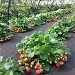 Целесообразность применения агроволокна в Украине