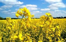 Семена рапса Синтетик Гран