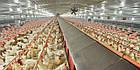 Щелевой пластиковый пол для птицы 1200х600 мм, щелевой пол для птичников, фото 5