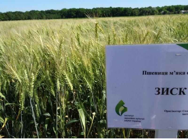 Насіння пшениці озимої Зиск (еліта)