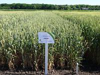 Насіння пшениці озимої Овідій (еліта)