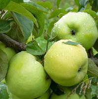 Саженцы яблони сорт Антоновка обыкновенная