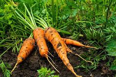 Как спасти урожай корнеплодов или можно ли посеять морковь в июле