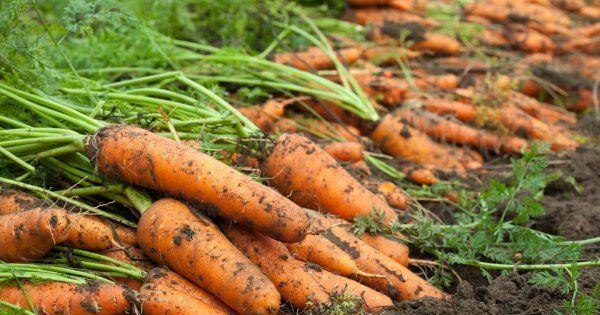 Лучшее время посадки корнеплодов моркови