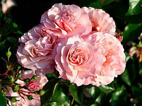 Роза Ботичелли (Botticelli) Флорибунда, фото 2