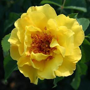 Роза Лихткенингин лючия (Lichtkonigin Lucia)  Плетистая, фото 2