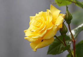 Роза Лихткенингин лючия (Lichtkonigin Lucia)  Плетистая, фото 3