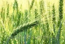 Озимая пшеница МИРЛЕНА, Элита