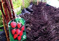Правильная посадка малины весной и уход: основные рекомендации