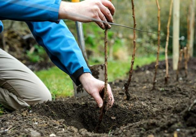 Способы посадки малины весной