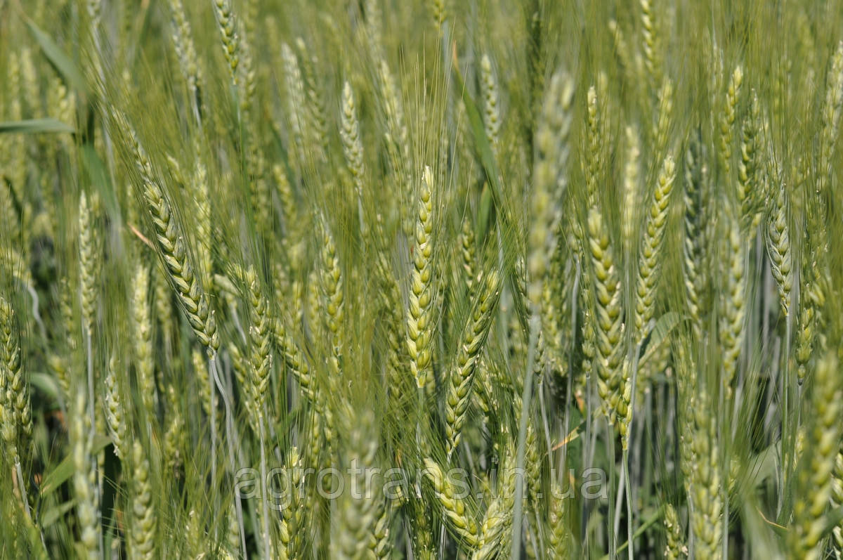 Озимая пшеница, Полтавська, Элита